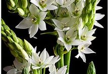 Star of Bethlehem Wedding Flowers