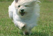 Our dog Louie / He is a coton de tulear