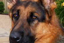 Germansheperds..
