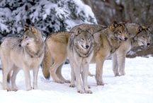 Wolves / Love them