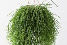 Rhipsalis - Langveter - Koraalcactus
