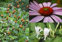 Herbs: Immune system