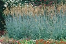 """Native Grasses for Home Gardens / This board is a companion to the """"Native Grasses in Home Gardens"""" article in our magazine, The American Gardener, May/June 2017 issue ahsgardening.org/gardening-resources/gardening-publications/the-american-gardener/may-june-2017"""