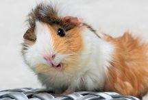 Guinea Pigs <3