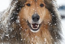 Rough haired Collie
