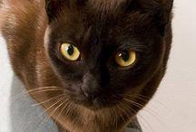 Burmese cats / I like burmese cats!