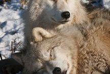 vargar å vilda nordiska djur