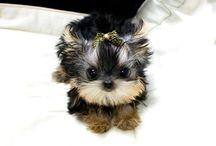 Sweety / Mini dog