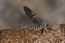 March Brown i inne owady