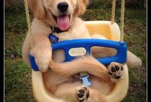 GoldenRetriever #Animal