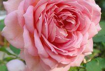 ruže, kvety - nadhera