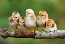 닭 병아리