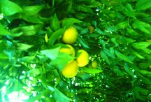 Nature's Bounty / Oranges waiting to ripen for the Vitamin C season.