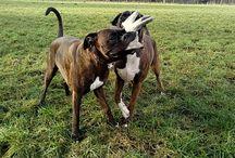 Boxers Henk & Peter / #boxers #boxerhenk #boxerpeter