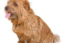 Norfolk Terrier / In the 'drains' of their native land, East Anglia, they have excelled in keeping the rat population down. It is interesting that in the early days, great pride was taken in their being 'game'.  There is even a certificate from a Master of Foxhounds the East Essex Hunt, in 1932, that Tobit was  'entered to badger and is game'.  - See more at: http://www.noahsdogs.com/m/dogs/breed/Norfolk-Terrier#sthash.QGXnO7aO.dpuf