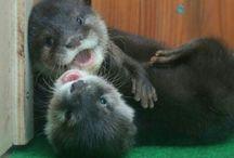 Cuccioli di lontre