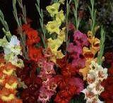 Gladioly(Gladiolus)