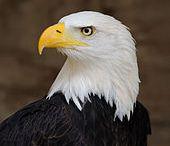 águila del norte