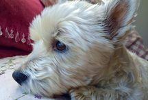 Gina the westie / My beautiful doggy