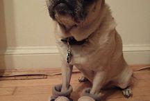 Pugs:my love