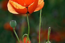 Amapolas / It's the only flower that grows in devastated places where nothing is left.