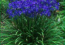 Blue & Purple in the Garden / Beautiful Blue!