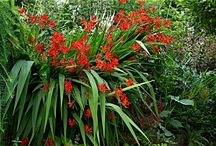 Red Perennials for Sun / Discover new perennials by color and light requirements to make creating your garden simpler.