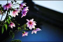 粘る皇帝ダリア。 This tree dahlia still have been blooms. #treedahlia #stillblooming #flower #autumn #皇帝ダリア写真