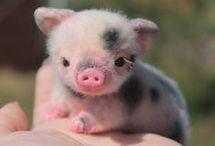 pigs/baby pigs/micro pigs