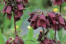 Special plants / Penstemons