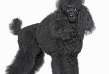 """Miniature Poodle / Poodles have lived in Europe for centuries, and there is a debate about whether they originate from Germany or France. The name Poodle is believed to derive from the German word Pudel which means """"plays with water"""", and indeed Poodles were used as retrievers to fetch water fowl for hunters. However, most people think the Poodle's origins lie in France, where it is a much loved national breed. - See more at: http://www.noahsdogs.com/m/dogs/breed/Miniature-Poodle#sthash.Vaw8fE5n.dpuf"""