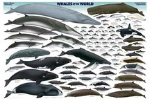 Killer Whale and whales