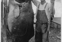 Big fish / Big fish caught