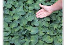 Shade Loving Perennials / Perennials that prefer shady spots