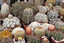 Sukulent,kaktus