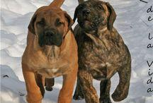 Boss presa canario / Dog
