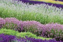 Lavender / by Toni Wolcott