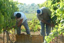 Vigneti Buonivini_Vineyards  / Noto - Sicilia_Sicily / Our Vineyards