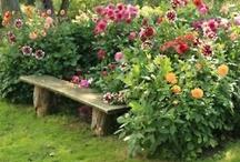 záhrada georgína