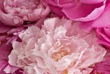 Flowers Peonies / The peony is a flowering plant in the genus Paeonia, the only genus in the family Paeoniaceae. They are native to Asia, Southern Europe and Western North America.