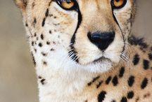 Cheetah / Cheetah