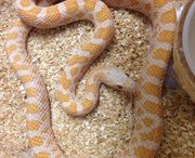 Rat Snakes / For our full selection of Rat Snakes visit: http://bhb-reptiles.myshopify.com/collections/rat-snakes