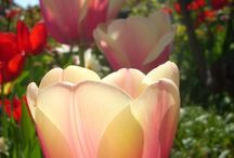 I love tulip -* / tulipany prece .)