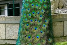Birds - Peacocks