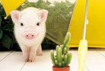 Cute little pigs