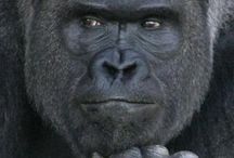 Gorilla women claimed to be very handsome .... What I see though is a very composed and content animal which is extremely beautiful... So we can say beauty is from within
