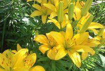 Yellow  in the garden/ Keltaista puutarhaan / Keltainen väri tuo auringon säteitä puutarhaan pilvisenäkin päivänä.
