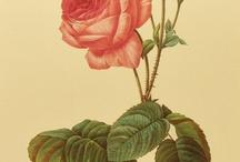 Roses / by Camila Arantes