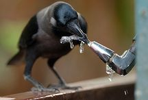 Corvidae / Crows and how I love them