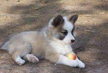 Islandhund ❤
